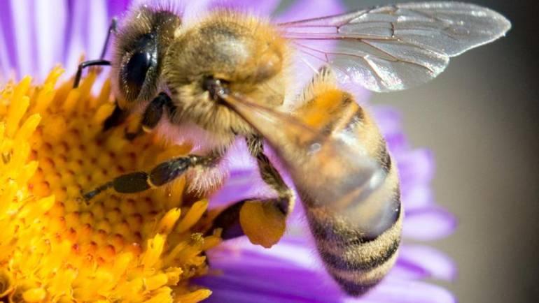 Mézelő méh